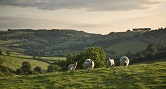 Somerset sheep small image