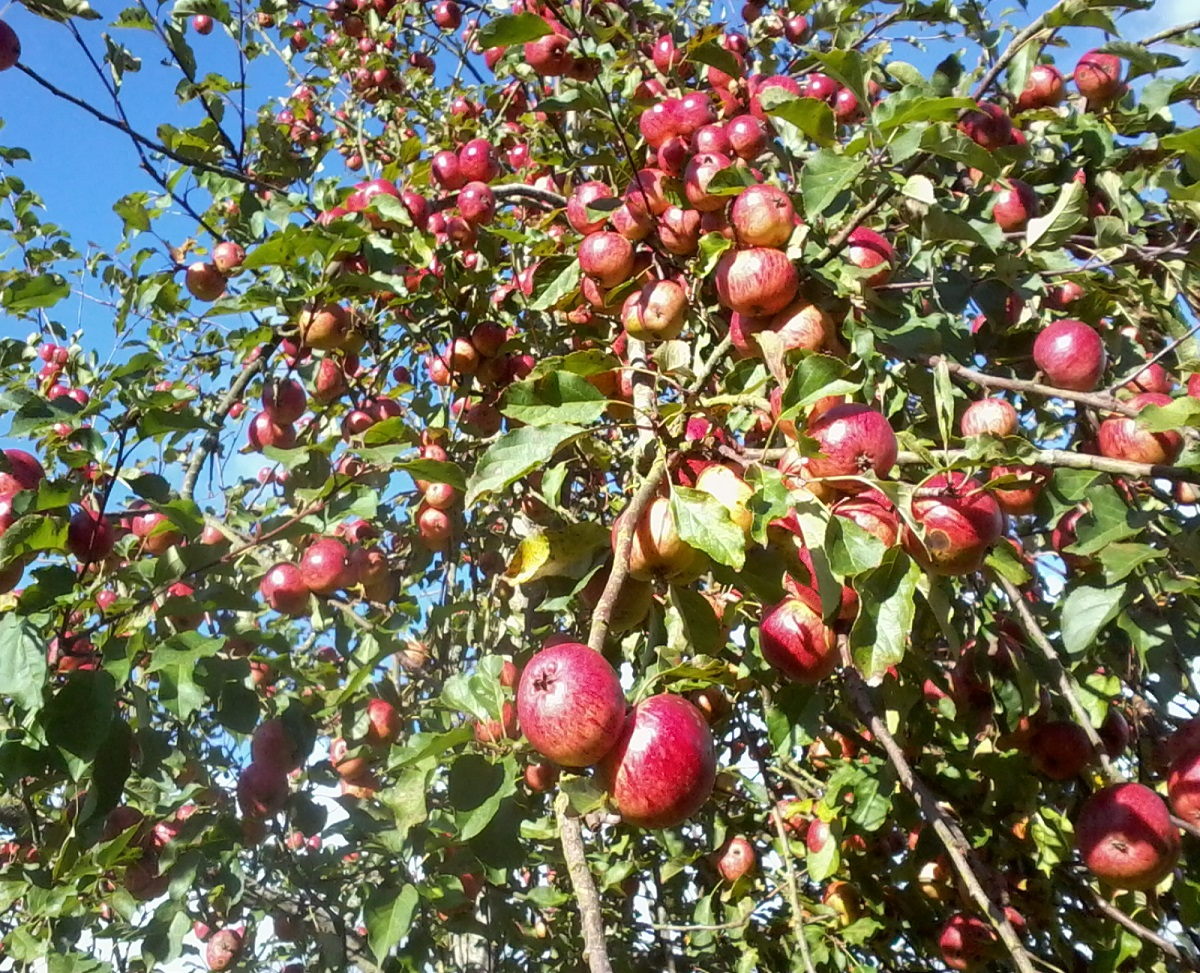 an abundance of apples